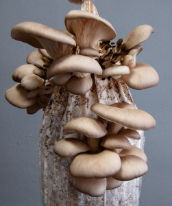 doms oyster mushrooms